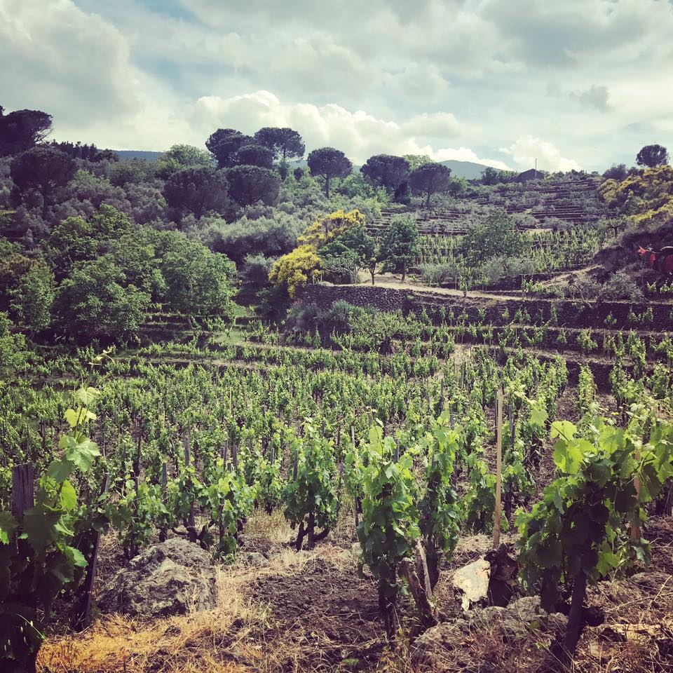 The Wines ofSicily